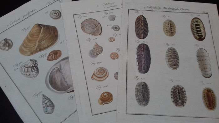 3 prints with Shells - Friedrich Wilhelm Martini (1729–1780) - Cochlea Petrificatae/Helices/Chitons 'Polyplacophora'