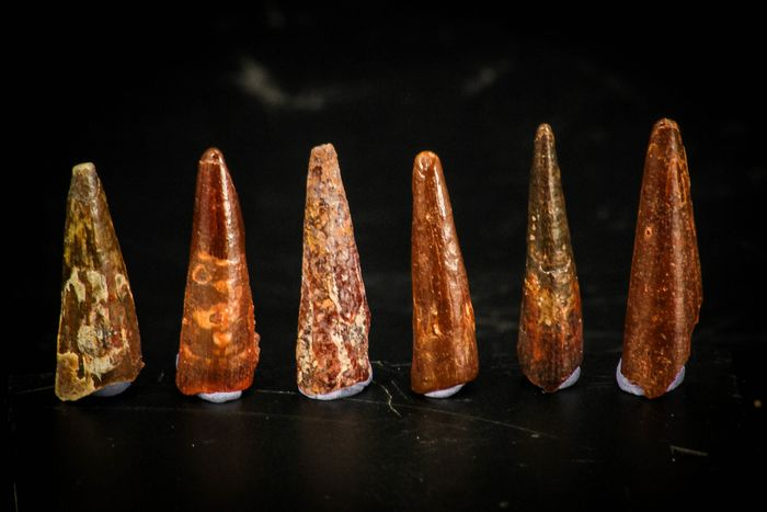Set of 6 Pterosaur (Coloborhynchus) Teeth