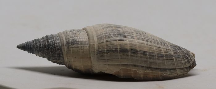 Fossil shell - Beautiful conservation - Pleioptygma debrae ( 9.3 cm )