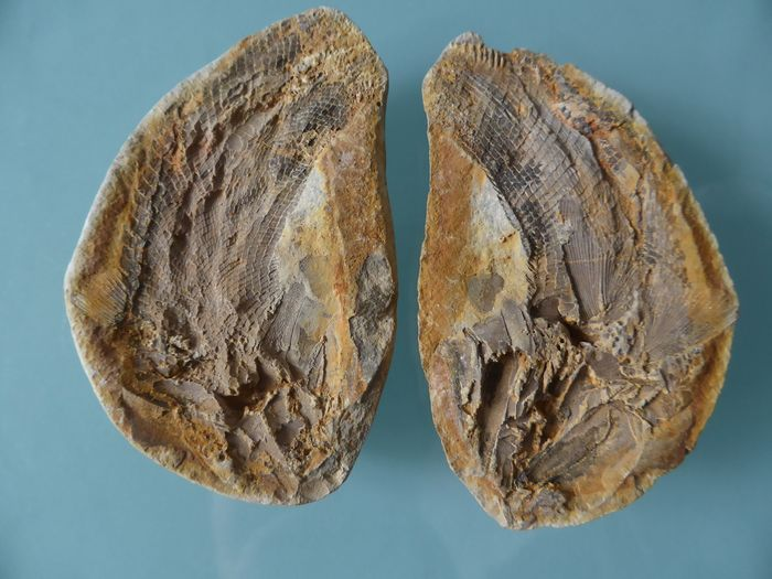 Triassic Fossil Fish on Geode - Positive and negative on matrix - Schmelzschupper - 10×40×65 mm