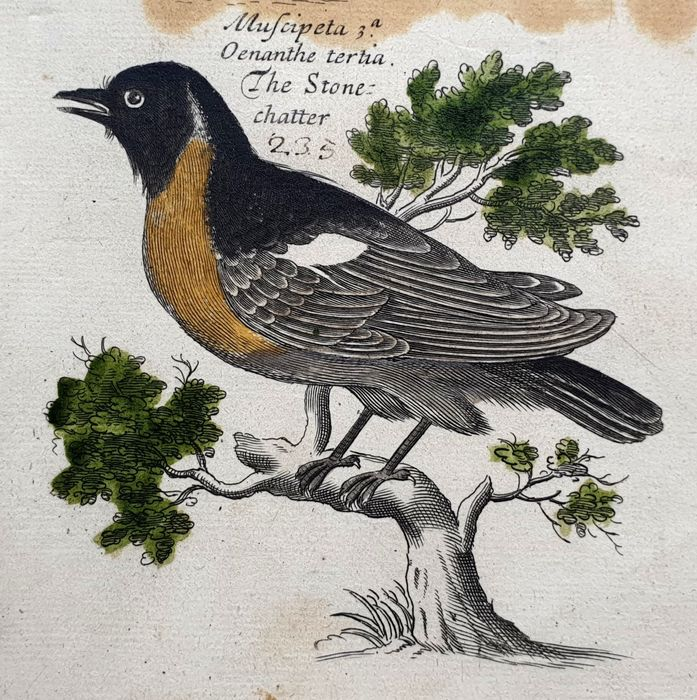 2 prints - Emma & Francis Willughby  (17th century)  - The Stone Chatter - Mayby old hand-coloured read description large sized - Ornithology