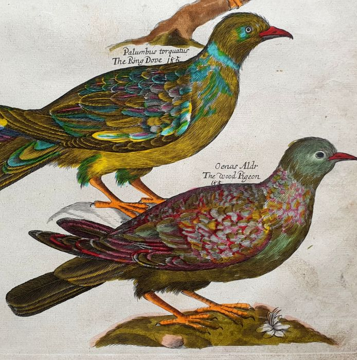 Emma & Francis Willughby  (17th century) Alle Jong (1988) - The Indian Turtle - hand-coloured & signed large sized - Ornithology
