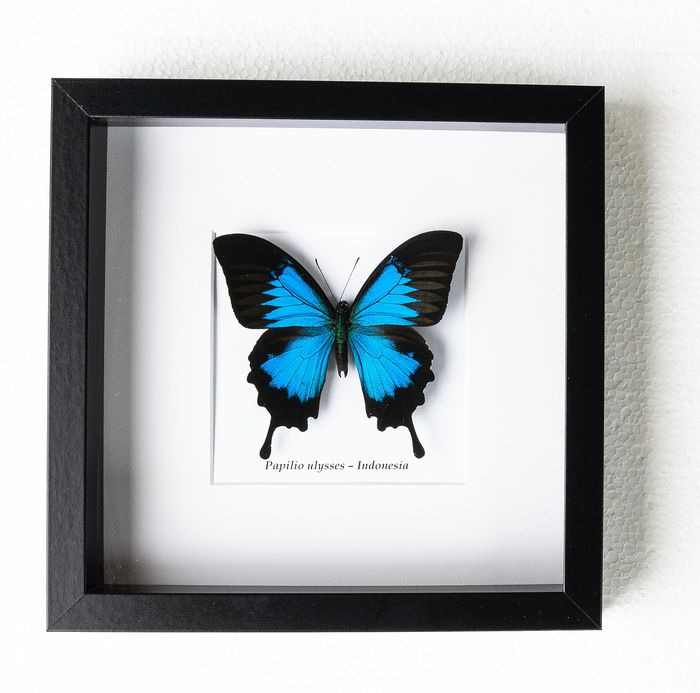 Butterfly - papilio ulysses - 4,5×25×25 cm