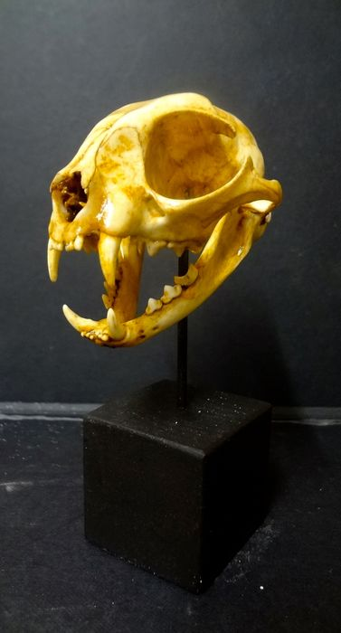 Large Cat Skull On custom Pedestal - Felis silvestris catus - 10×7.5×7 cm