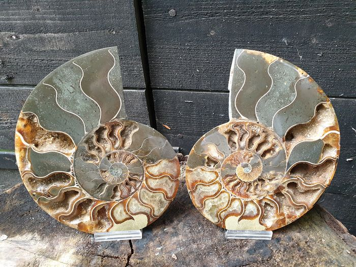 Belle coupe Ammonite Aioloceras sp. - 165×130×20 mm - 857 g - (2)