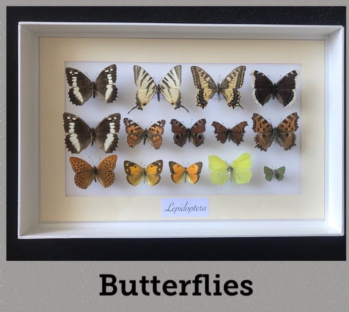 Italian Butterfly Display finely framed, with data labels - Lepidoptera: Papilionidae, Pieridae, Nymphalidae, Lycaenidae - 60×260×390 mm