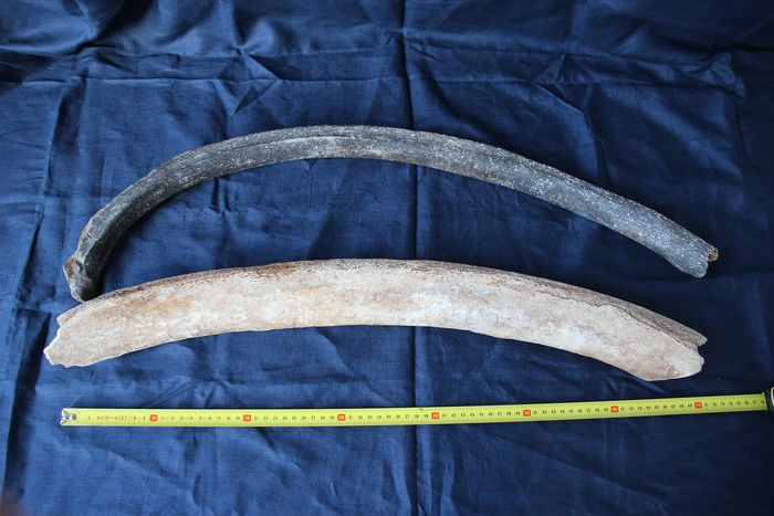 Woolly Mammoth - Rib - Mammuthus primigenius