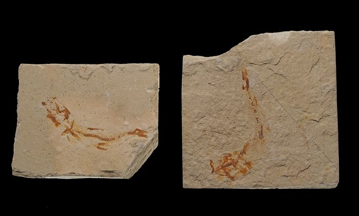 Fossil Fishes - on matrix plates - Scombroclupea (Kner, 1863) (2)
