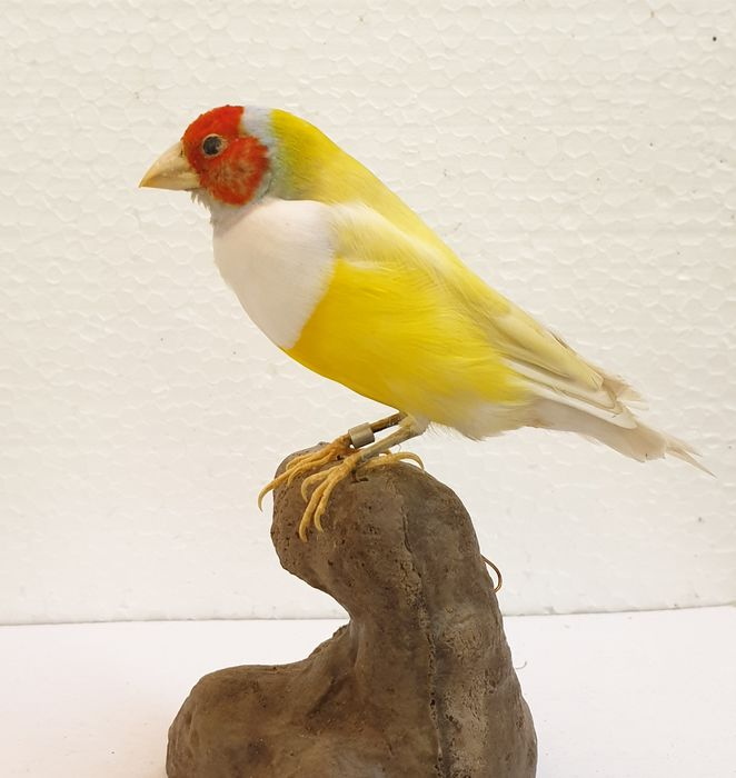 Gouldian Finch Full-body mount - Erythrura gouldiae - 5×8×10 in
