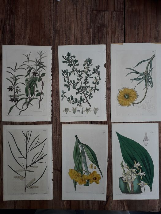 Curtis Botanical Magazine - Botanical Prints (12x)