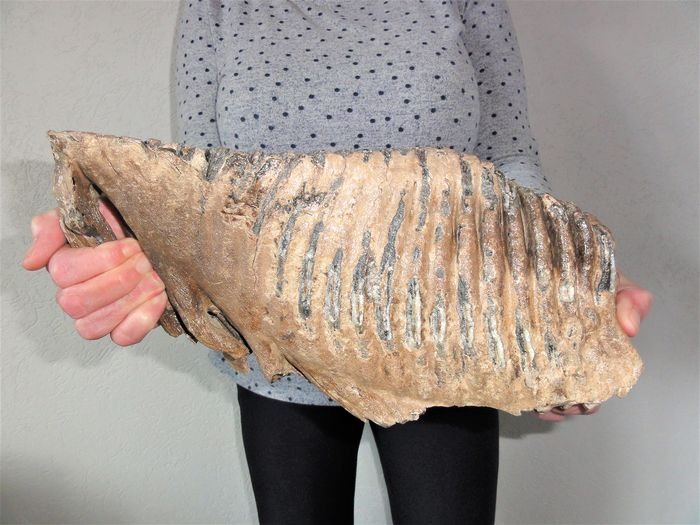 Woolly Mammoth - very large Tooth - 5.5kg - Mammuthus primigenius - 18×9.5×36 cm