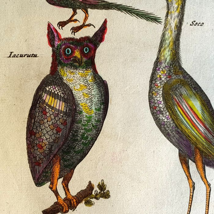 John Jonston & Merian Mattheus (17th century) - The Iacurutu & other birds - fishes from Historia Naturalis handcoloured