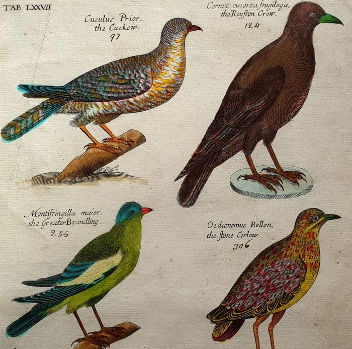 Emma & Francis Willughby  (17th century) Alle Jong (1988) - The King of Birds - hand-coloured & signed large sized - Ornithology