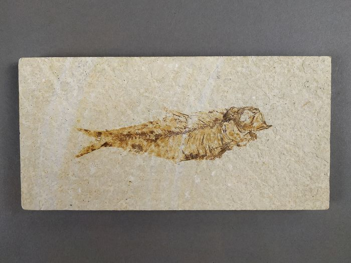Herring-like Fossil Fish - on original matrix - Diplomystus dentatus - 18×9×1.5 cm
