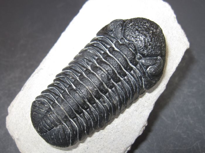 Trilobite with clearly detailed Faceted Eye in best quality - On matrix - Phacops sp. - 62×30×0 mm