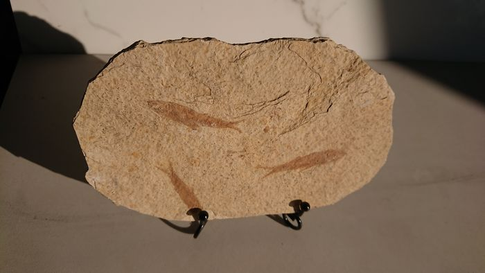 Fossil Fishes - on large matrix plate with steel stand - Lycopterasinensis sp. - 13.5×0.7×17.5 cm