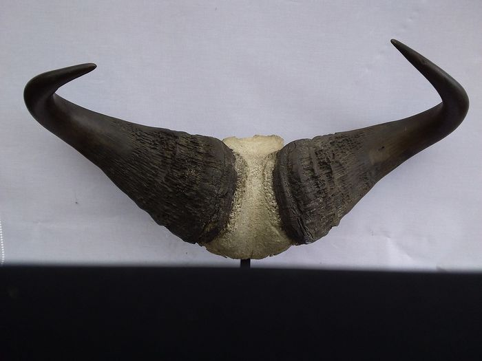 Large Cape Buffalo Horns on part skull on custom stand - Syncerus caffer - 65×80×65 cm