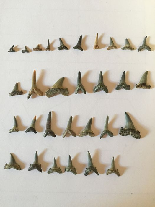 Collection of Baltic-find Sharks' Teeth - several species