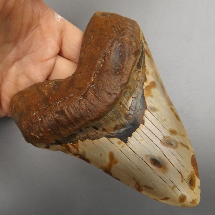 Large and heavy (6 inch) Megalodon - Shark Tooth - Carcharocles megalodon - 150×110×31 mm