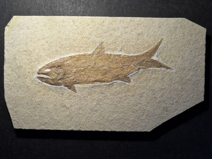 Fish - On matrix - Caturus furcatus (AGASSIZ, 1833) - Solnhofener Plattenkalk - 14,5×8×0,5 cm