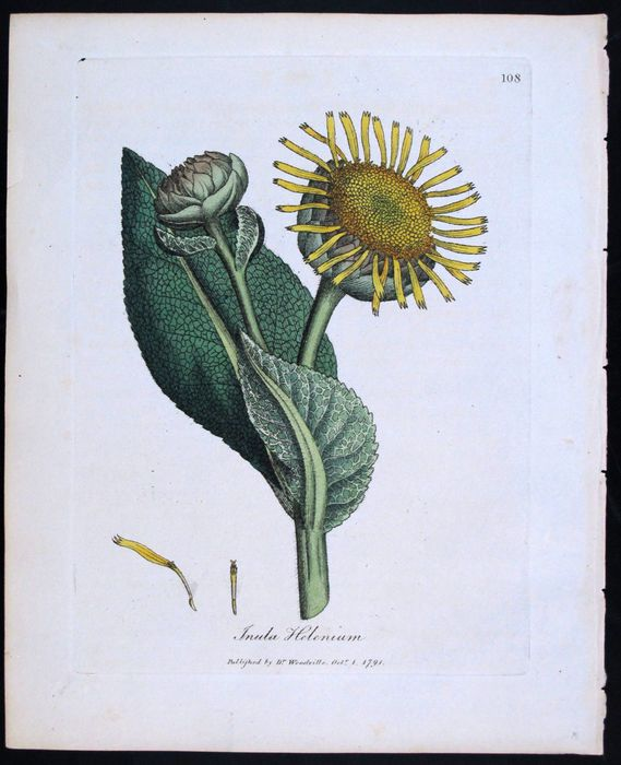 William Woodville - J. Sowerby - Original Antique Handpainted Medicinal Plant, Indigenous and Exotic- Inula Helenium K3Q