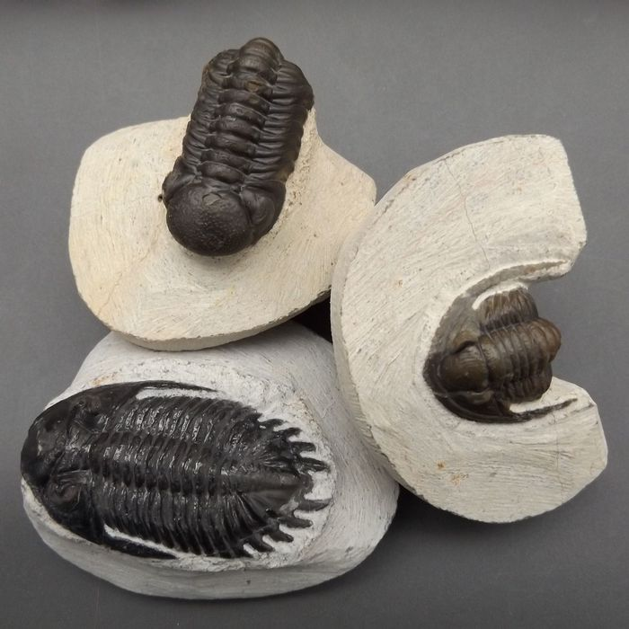 Set of fossil - Trilobites, from the same formation - (3) - 57×32×19 mm