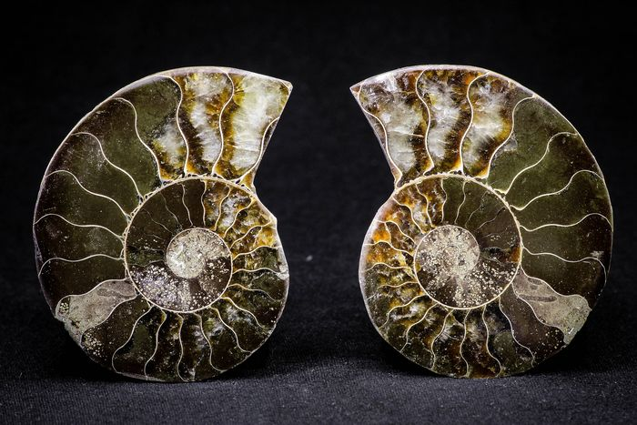 Ammonite - Cut & Polished -  Cleoniceras sp - Lower Cretaceous