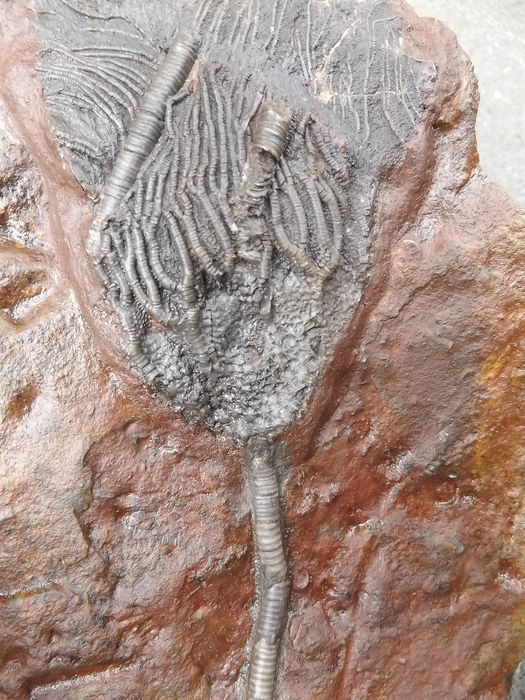 Fine fossil Sea Lily - On matrix - Scyphocrinus elegans  - 262×152×24 mm