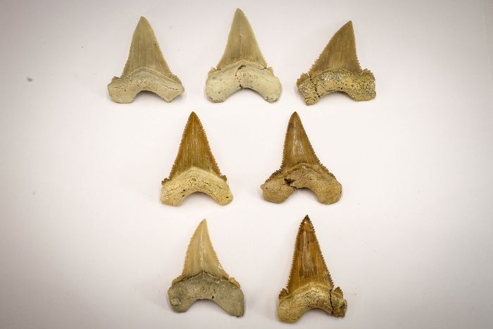 Fossil Pygmy White Shark Teeth - Palaeocarcharodon orientalis (7)