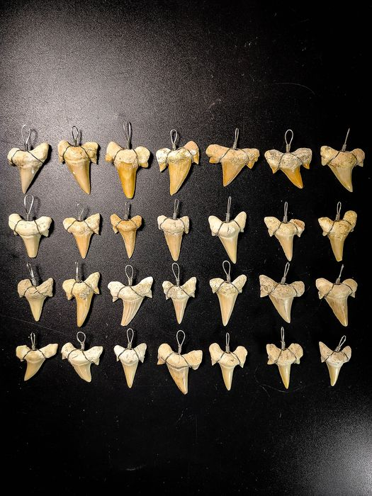 Collection of Wire-wrapped Mackerel Shark Teeth Pendants - Cretolamna sp. (28)