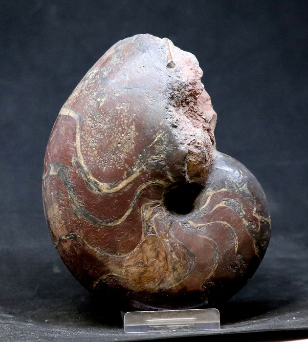 Uncommon Nautiloid - With yellow sutur lines - Cenoceras belmontense ( 16.5 cm )