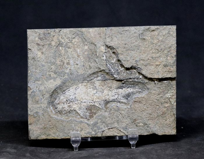 Very uncommon fossil fish - Fine - Well preserved and outstreched - - Rhabdolepis  - 8.1×7.7×0.6 cm