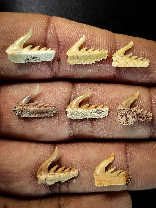 Collection of Moroccan Cow Shark Teeth -  Weltonia ancistrodon (8)