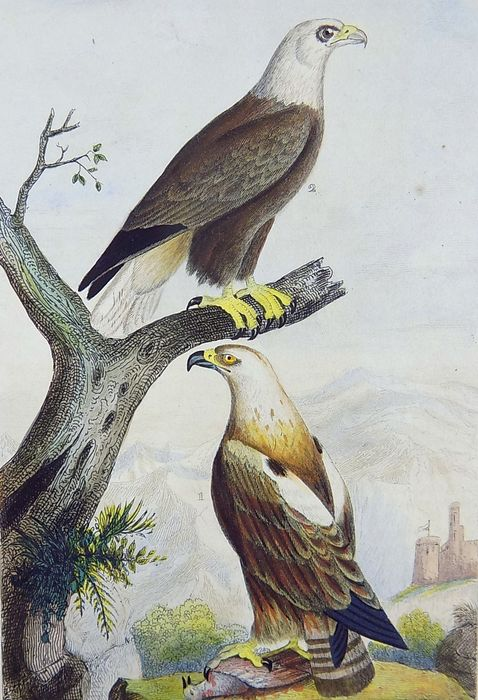 Edouard Travies - Lot of 5 fine ornithological engravings - Original hand colour heightened with gum arabica