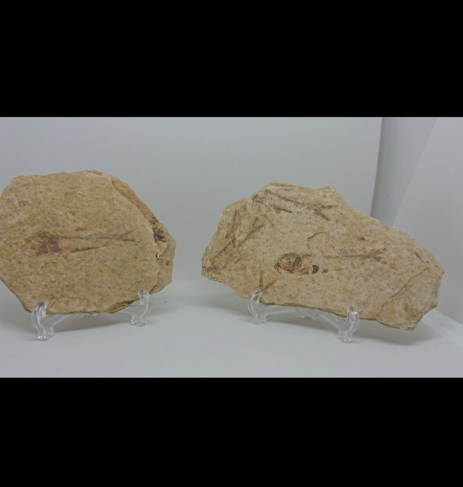 Pair of Fossil Fishes - on matrix plates, with stands - Lycoptera sinensis (2) - 5.6×0.7×10.2 cm