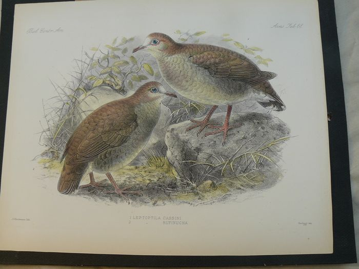 Seven ornithological prints - Keulemans and another artist - Birds species