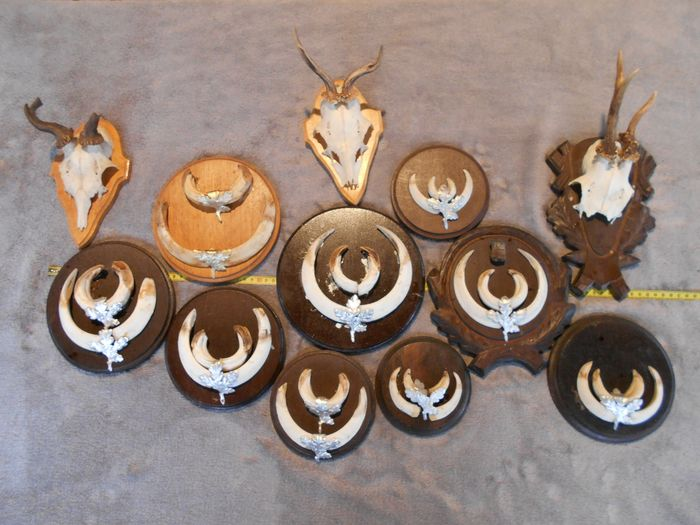 Wild Boar Tusks Trophies, with Roebuck - all on shields - Sus scrofa - Capreolus capreolus - 15×90×55 cm - 12