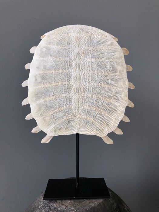 Fine Chinese Softshell Turtle with stand - Bone, Carapace Skeleton - Pelodiscus Sinensis