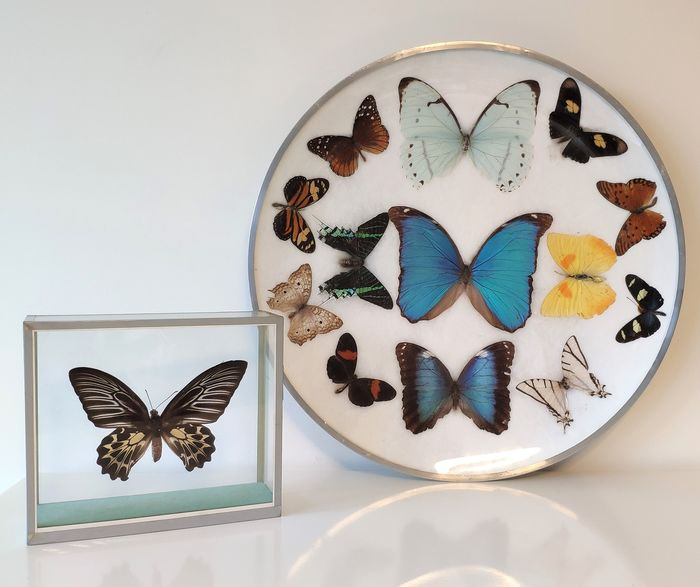 Butterflies on plate and in see-through glass case with Golden Birdwing - Troides aeacus and others - 37×37×5 cm