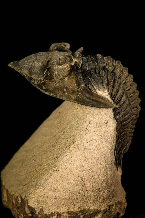 Trilobiet - Op matrix - Top Quality 35.7 mm Metacanthina issoumourensis Lower Devonian Trilobite