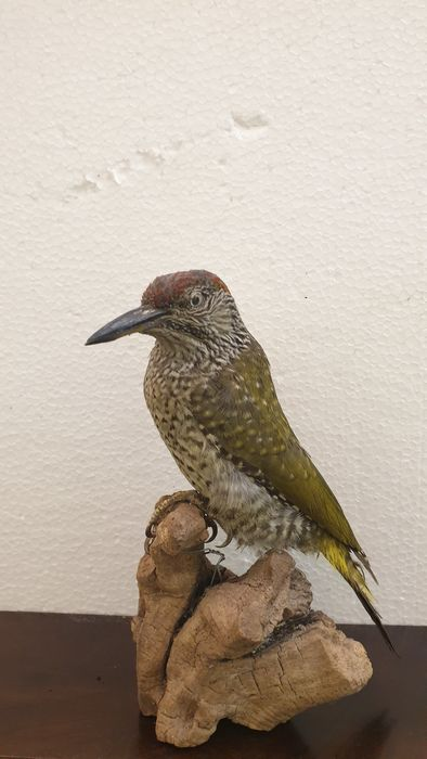 Green Woodpecker, juvenile - - Picus viridis - 10×20×20 in