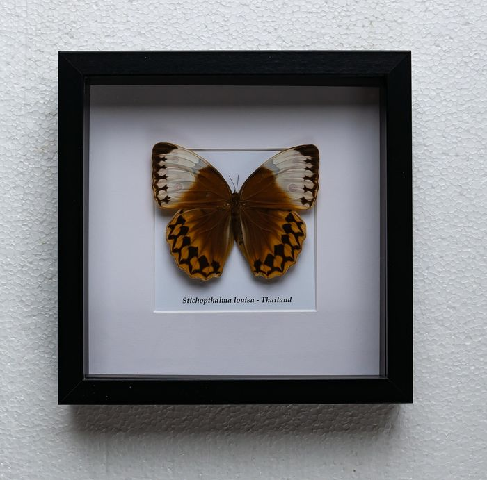 Butterfly - stichopthalma louisa - 4.5×25×25 cm