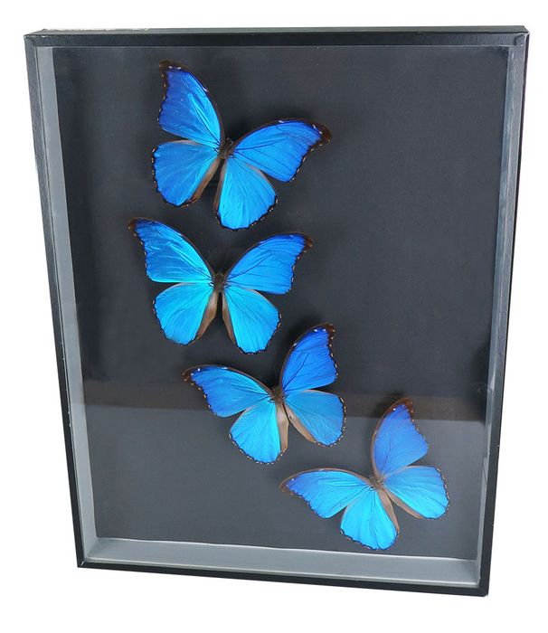 Giant Blue Morpho Butterfly framed display - Morpho didius - 500×390×55 mm