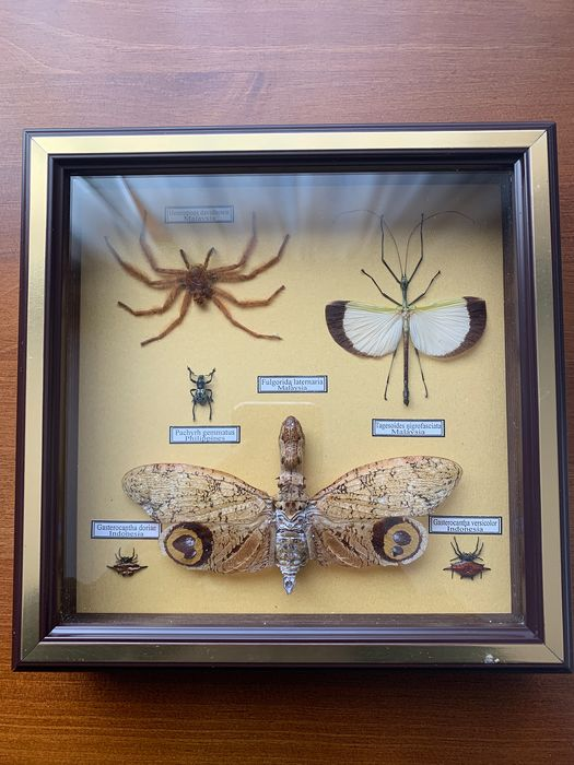 Finely framed and labeled Insect Display Case Dry-preserved - various named species - 20×4×20 cm