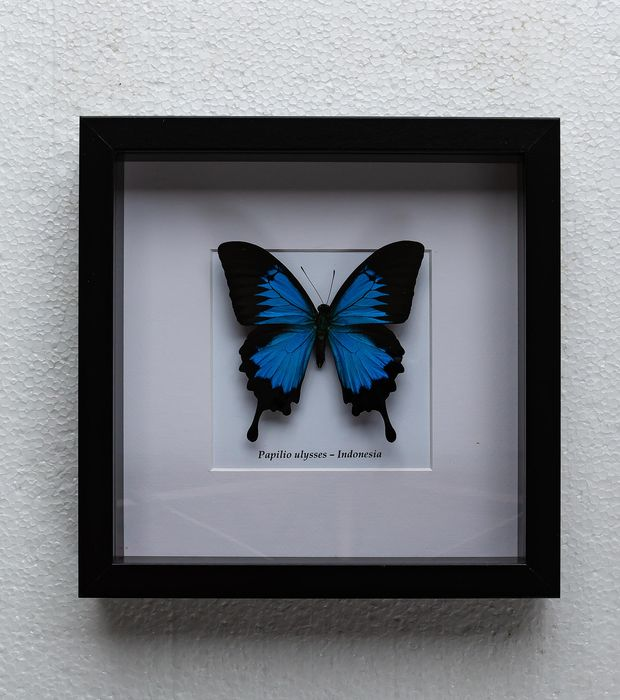 Butterfly - papilio ulysses - 4.5×25×25 cm