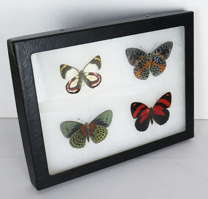 Tropical butterfly Display frame - various species - 16×21×2 cm
