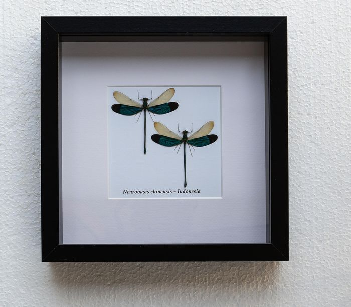 Dragonfly - neurobasis chinensis - 4.5×25×25 cm