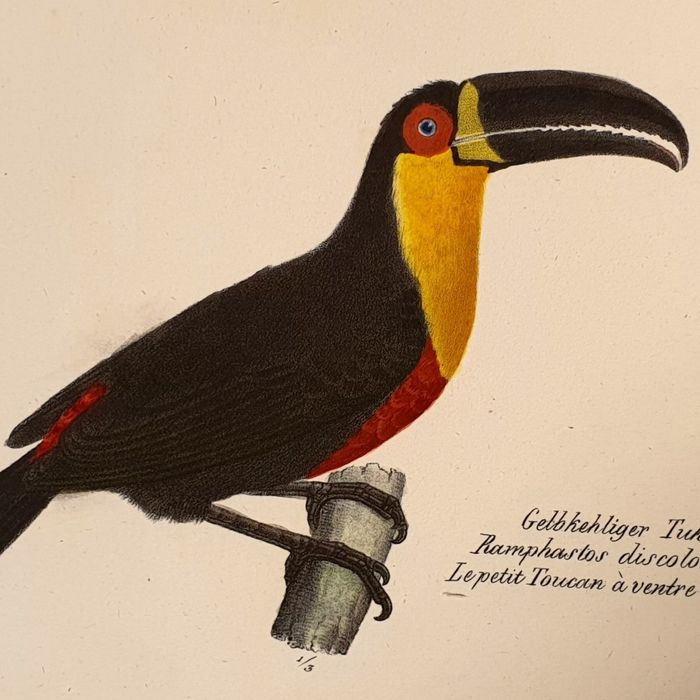Karl Joseph Brodtmann (1787-1862)  - Ramphastos Discolorus - Hand-coloured and signed large sized - Ornithology