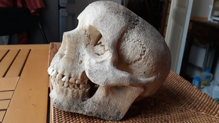 Human Skull Replica Fashioned from Fish Bone - - - 19×22×24 cm