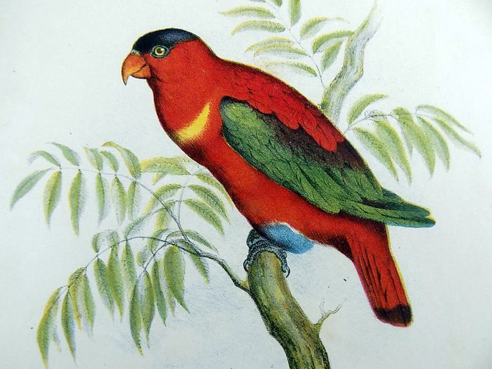 Lot of 2 folio colour lithographs by Leopold Fitzinger (1802 – 1888) - Parrots, Cockatoos, Lori, Parrakeet - 1860